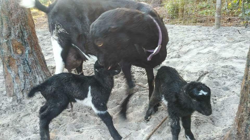 juladame goat business