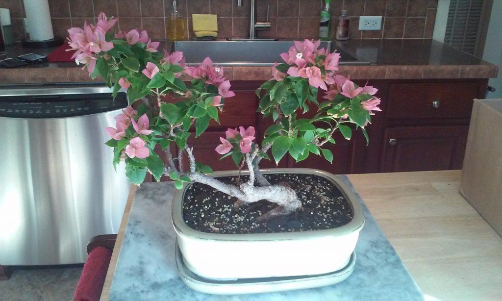 memorial - bonsai