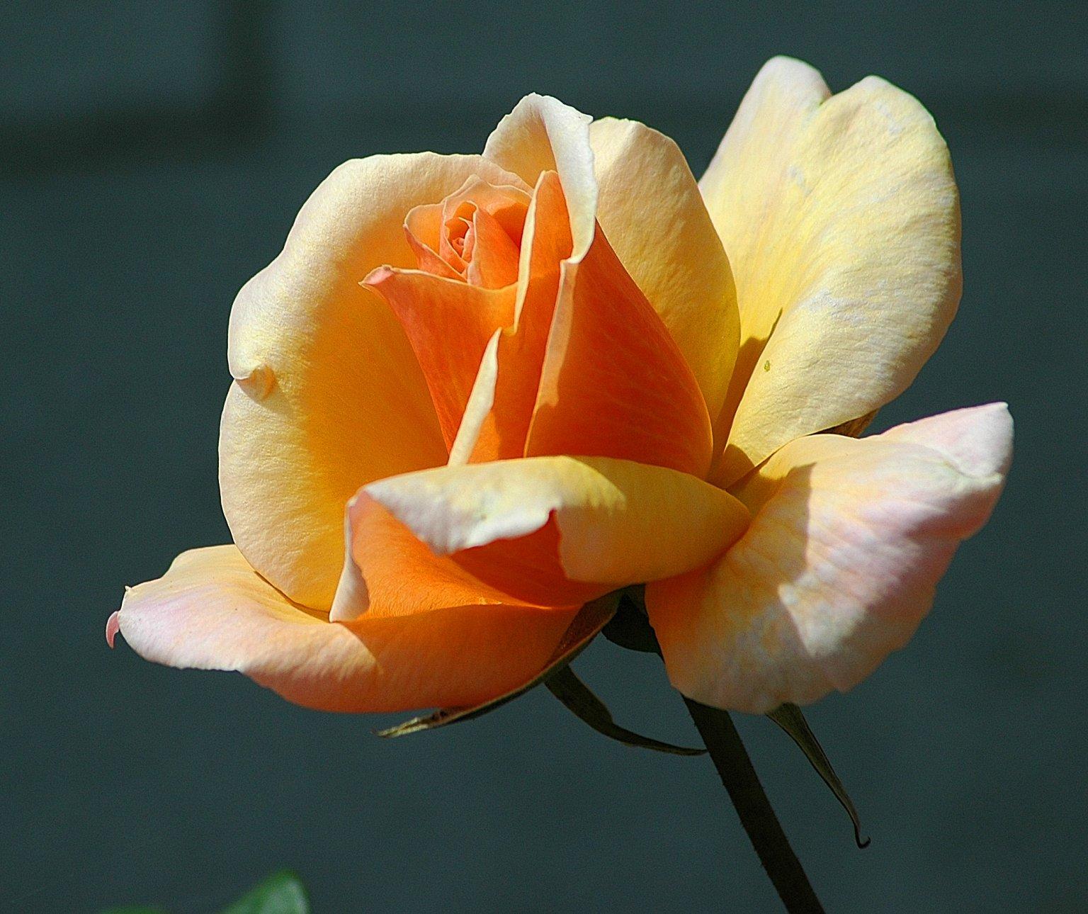 rose blog 2