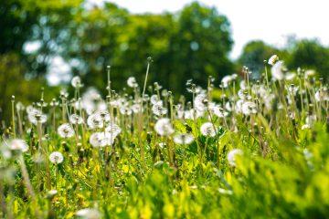 surprised by beauty dandelion