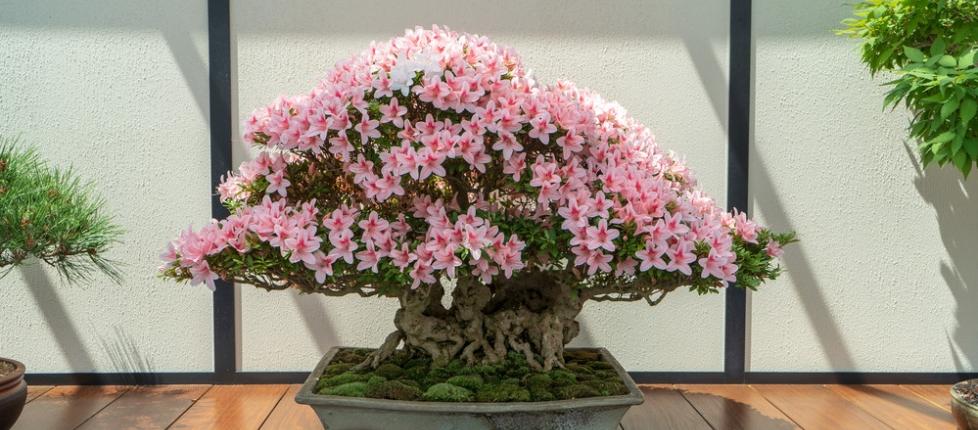 Orlosky Bonsai, Longwood Gardens