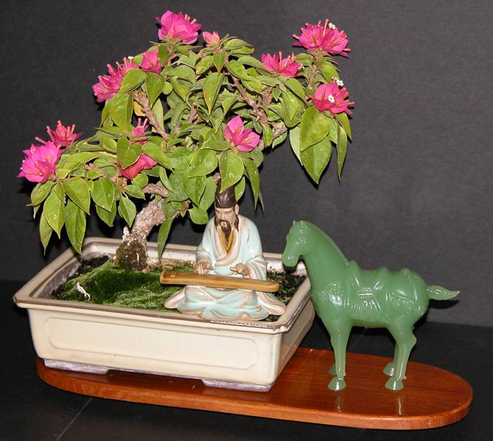 Ken's Bougainvillea bonsai