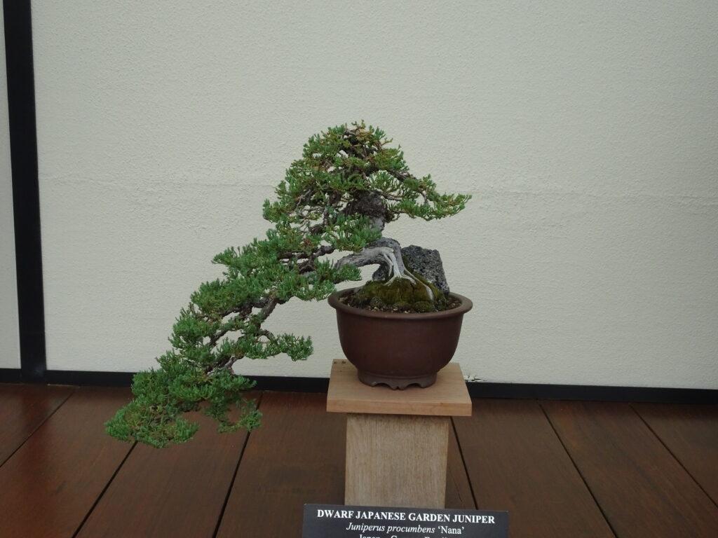 Longwood Gardens bonsai