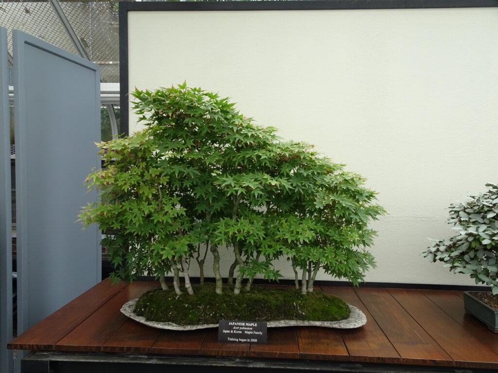 Longwood Gardens, bonsai