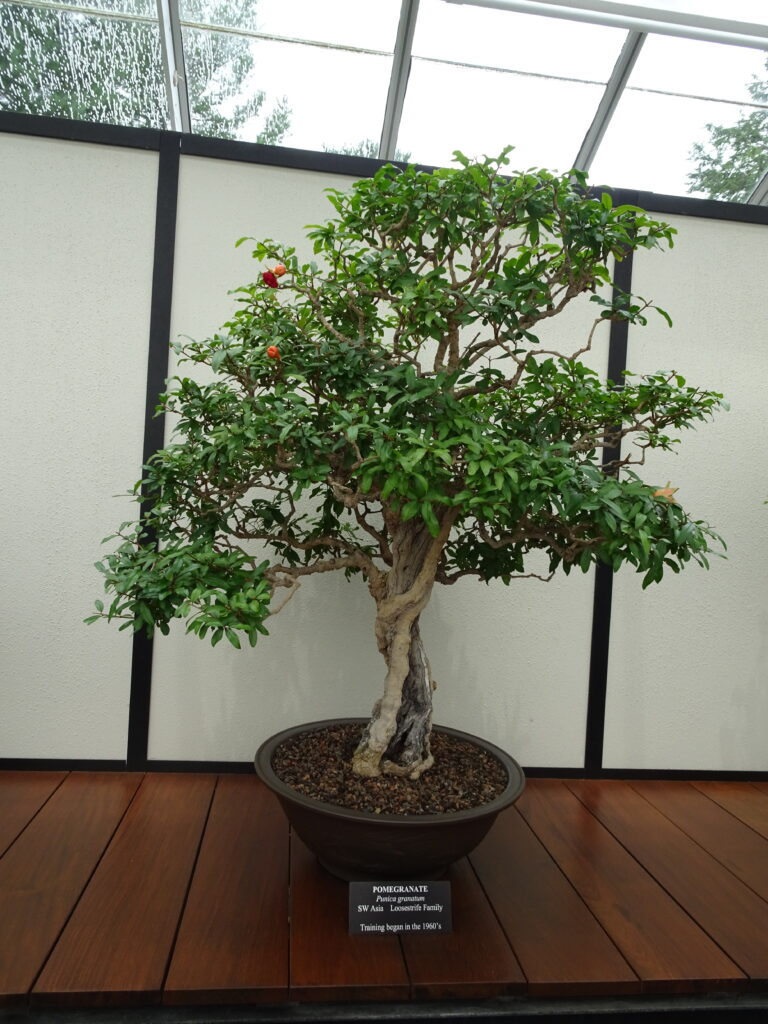 Bonsai Pomegranate tree, Longwood Gardens